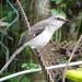 Tropical Mockingbird - Photo (c) Taran Rampersad, some rights reserved (CC BY-NC-SA)