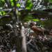 Mentocrex beankaensis - Photo (c) Oddfeel, alguns direitos reservados (CC BY-NC-ND)