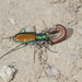 Cicindela - Photo (c) Dave Rogers, some rights reserved (CC BY-NC)