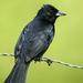 Frutero Negro - Photo (c) David Cook Wildlife Photography, algunos derechos reservados (CC BY-NC)