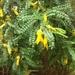 Sophora molloyi - Photo (c) Jon Sullivan, algunos derechos reservados (CC BY-NC)