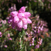 Cross-leaved Heath - Photo (c) Sheila, some rights reserved (CC BY-NC-ND)
