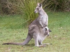 Eastern Grey Kangaroo - Photo (c) mononymous, some rights reserved (CC BY-NC)