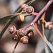 Eucalyptus camaldulensis - Photo (c) leithallb, osa oikeuksista pidätetään (CC BY-NC)