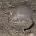 Bettongia gaimardi - Photo (c) James Bailey,  זכויות יוצרים חלקיות (CC BY-NC)