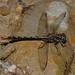 Phanogomphus exilis - Photo (c) Jim Lemon, algunos derechos reservados (CC BY-NC)