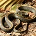 Thamnophis atratus atratus - Photo (c) Zach Lim,  זכויות יוצרים חלקיות (CC BY-NC)