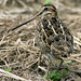 Swinhoe's Snipe - Photo (c) Kim, Hyun-tae, some rights reserved (CC BY)