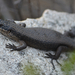 Black Rock Skink - Photo (c) dylanjones, some rights reserved (CC BY-NC), uploaded by dylanjones