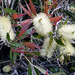 Willow Bottlebrush - Photo no rights reserved
