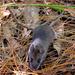 Apodemus semotus - Photo (c) Pei-Jen Lee Shaner, algunos derechos reservados (CC BY-SA)
