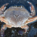 Common Swimming Crab - Photo no rights reserved