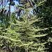 Coprosma parviflora - Photo (c) tangatawhenua, algunos derechos reservados (CC BY-NC)