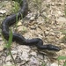 Eastern/Gray Ratsnake Complex - Photo (c) djm, some rights reserved (CC BY-NC)