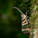 Lanternflies - Photo (c) Rushen, some rights reserved (CC BY-SA)
