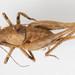 Aglaothorax - Photo Ken-ichi Ueda, sin restricciones conocidas de derechos (dominio publico)