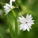 Lithophragma affine - Photo (c) Philip Bouchard, algunos derechos reservados (CC BY-NC-ND)
