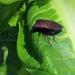 Tibraca exigua - Photo (c) Guille Ivan Spajic, algunos derechos reservados (CC BY-NC)