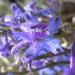 Delphinium andersonii - Photo (c) Matt Lavin, osa oikeuksista pidätetään (CC BY-SA)