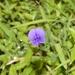 Smithia purpurea - Photo (c) mayuresh kulkarni,  זכויות יוצרים חלקיות (CC BY-NC)