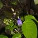 Rhynchoglossum notonianum - Photo (c) mayuresh kulkarni,  זכויות יוצרים חלקיות (CC BY-NC)