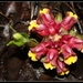 Curcuma mutabilis - Photo (c) mayuresh kulkarni,  זכויות יוצרים חלקיות (CC BY-NC)