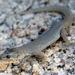 Desert Night Lizard - Photo no rights reserved