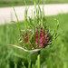 Wild Garlic - Photo (c) Jason Sturner, some rights reserved (CC BY)