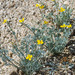 Eschscholzia minutiflora - Photo (c) BJ Stacey,  זכויות יוצרים חלקיות (CC BY-NC)