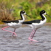 Stilts and Avocets - Photo (c) sea-kangaroo, some rights reserved (CC BY-NC-ND)