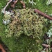 Sand-loving Iceland Lichen - Photo (c) kendallbrooke, some rights reserved (CC BY-NC)