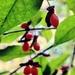 Euonymus alatus - Photo (c) Claire O'Neill,  זכויות יוצרים חלקיות (CC BY-NC)