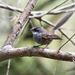 Streaked Fantail - Photo (c) Frédéric Desmoulins, some rights reserved (CC BY-NC)
