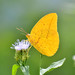 Large Orange Sulphur - Photo (c) Jose S. Garza Herrera, some rights reserved (CC BY-NC-ND)