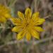 Mentzelia longiloba - Photo (c) randomtruth, μερικά δικαιώματα διατηρούνται (CC BY-NC-SA)