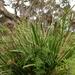 Lomandra longifolia longifolia - Photo (c) Wayne Martin, alguns direitos reservados (CC BY-NC)