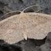 Cyclophora maderensis - Photo (c) bscrl,  זכויות יוצרים חלקיות (CC BY-NC)