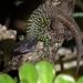 Gallotia galloti - Photo (c) bscrl, alguns direitos reservados (CC BY-NC)