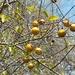 Strychnos decussata - Photo (c) Solofo Eric Rakotoarisoa, algunos derechos reservados (CC BY-NC)