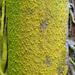 Chrysothrix xanthina - Photo Δεν διατηρούνται δικαιώματα