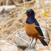 Hildebrandt's Starling - Photo (c) Greg Lasley, some rights reserved (CC BY-NC)