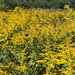 Tall Goldenrod - Photo (c) ronchesterdelpui, some rights reserved (CC BY-NC)