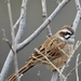 Meadow Bunting - Photo (c) 茶棚, some rights reserved (CC BY-NC-SA)