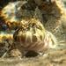 Entomacrodus marmoratus - Photo (c) sea-kangaroo, μερικά δικαιώματα διατηρούνται (CC BY-NC-ND)