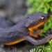 Salamandra de Piel Rugosa - Photo (c) matt knoth, algunos derechos reservados (CC BY-NC-ND)