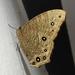 Melanitis leda - Photo (c) Shami Narayanan, μερικά δικαιώματα διατηρούνται (CC BY)