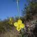 Eulobus californicus - Photo (c) randomtruth, algunos derechos reservados (CC BY-NC-SA)