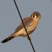 Falco sparverius sparverius - Photo (c) Len Blumin, μερικά δικαιώματα διατηρούνται (CC BY-NC-ND)