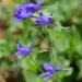 Forking Larkspur - Photo (c) Radio Tonreg, some rights reserved (CC BY)