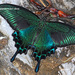 Mariposas Cometa - Photo (c) Kim, Hyun-tae, algunos derechos reservados (CC BY)